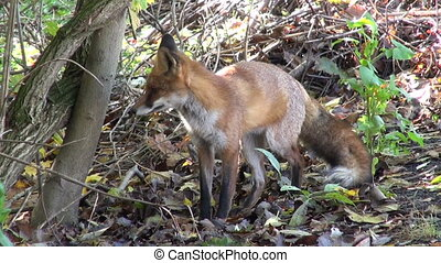 free wild red fox (Vulpes vulpes)