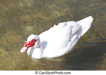 Muscovy Duck Barbary duck in the wild