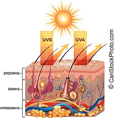 Protected skin with sunscreen lotion. UVB and UVA radiation...