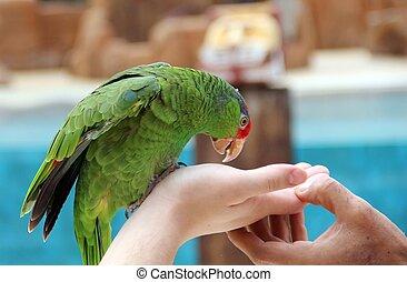 wielki, papuga, jeść, jadło, Z, hands.,