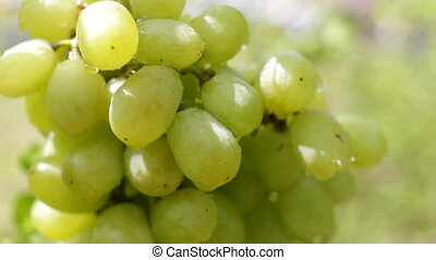 Green Grapes with Water Drops CU - Close up shot of green...