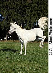 Beautiful white arabian stallion kicking in nature