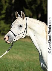 馬, 阿拉伯, 公馬, 惊人, 白色