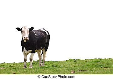 Cow on Grass - an cow standing on lush green grass looking...