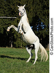 Beautiful white arabian stallion prancing in nature