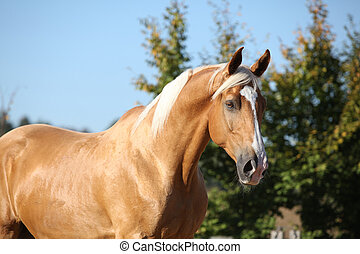 Amazing palomino horse with blond hair - Amazing palomino...