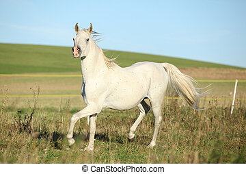 Amazing arabian stallion running on meadow