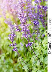 azul,  salvia,  farinacea), flores,  (salvia