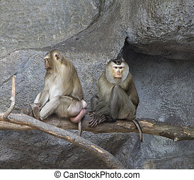 Pig-tailed macaques - Couple of pig-tailed macaques,...