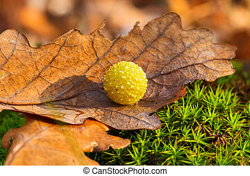 Yellow gall on dry oak leaf - Yellow oak gall ball. Gall...