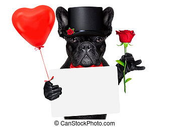valentines groom dog - valentines french bulldog dog holding...