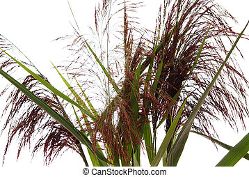 reed - high reed grass and leaf on white background