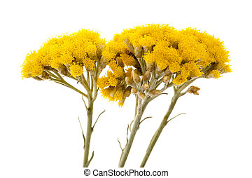 Helychrysum - Immortelle (Helychrysum) isolated on white...