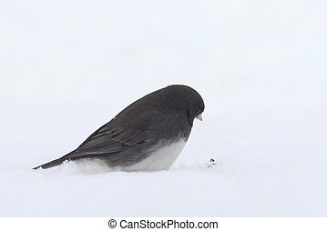 Snowbird - Often referred to a s snowbird, the common junco...