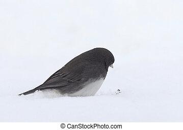 Snowbird - Often referred to a s snowbird, the common junco...