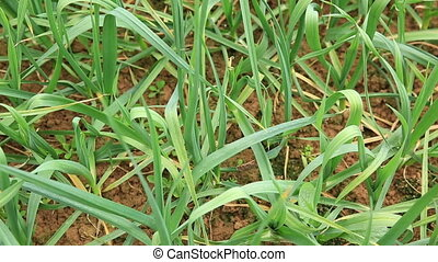 green garlic sprout in growth - green garlic sprout in...