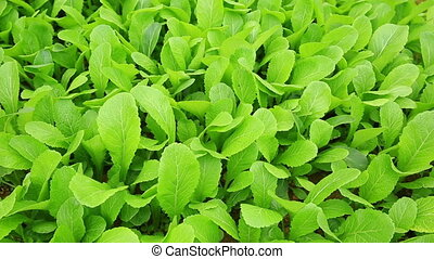 Green leaf mustard in growth at vegetable garden