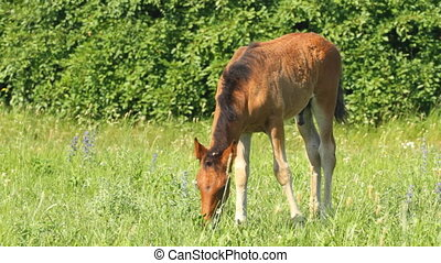 Foal pasture on a green grass