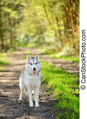 Siberian Husky - portrait of female Siberian Husky