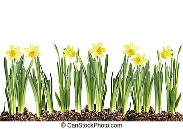 Daffodils - Row of daffodils isolated on white.