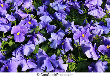 Pansy - April Pansies