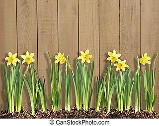 Daffodils - Row of spring daffodils against a cedar fence.