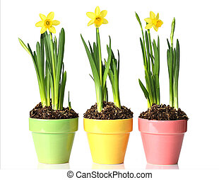 Potted daffodils in pretty pastel pots.