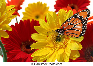 Gerbera daisy - Milkweed butterfly and spring flowers