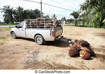 palm oil gardent . - Man working in the palm oil gardent .