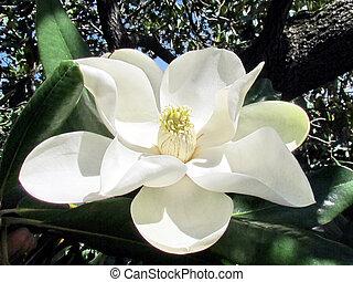 Washington magnolia flower isolated 2013 - Magnolia flower...