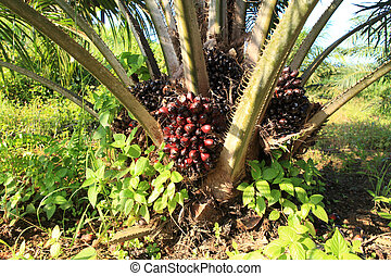 Palm fruit on the tree, tropical plant for bio diesel...