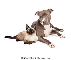Pit Bull Dog and Siamese Cat - A blue Pit Bull Terrier dog...