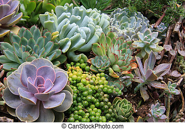 Succulents - Succulent variety