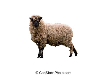 Isolated Sheep - an image of an isolated Cambridge dark face...