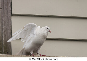 white pigeon taking off