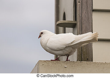 detail of white pigeon at dovecote