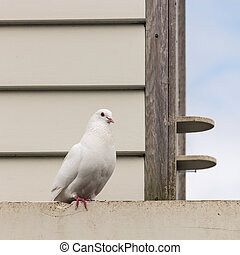 white pigeon sitting at dovecote - close up of white pigeon...