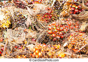 Palm Oil Fruits  - Palm Oil Fruits