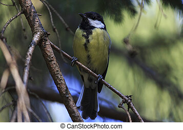 tomtit on branch of tree - tomtit on branch of pine tree