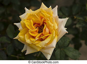 Yellow and white double colour rose - The beautiful of...
