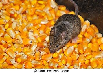 campo, ratones