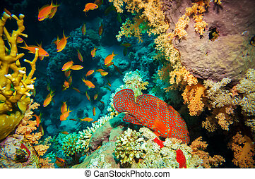 Blue-spotted grouper and tropical Anthias fish -...