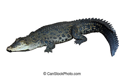 Saltwater crocodile Crocodylus porosus Isolated over white...