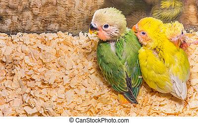 bebé, amarillo, lovebird, ,