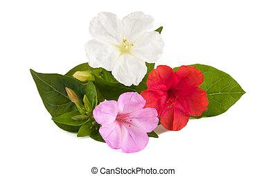 Mirabilis jalapa - four o'clock flowers isolated on white...