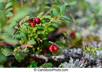 Lingonberries closeup - Lingonberries or cowberries...