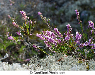 Heather and moss Calluna vulgaris