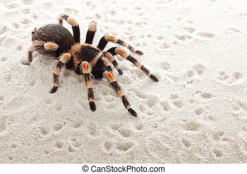 red knee tarantula - Mexican red knee tarantula crawling on...