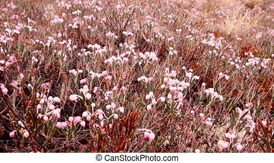 White flowers Andromeda - Thickets of white flowers - mass...