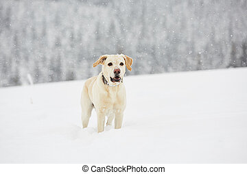 Wintry adventure - Yellow labrador retriever is playing in...